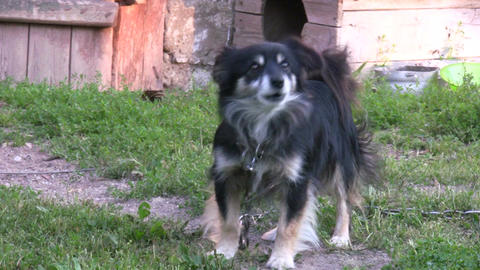 Barking dog Stock Video Footage