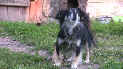 Barking dog Stock Video Footage