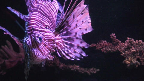Lionfish (Pterois volitans) close-up Stock Video Footage