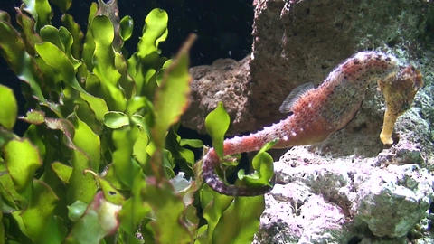 Hippocampus (Seahorse), close-up Stock Video Footage