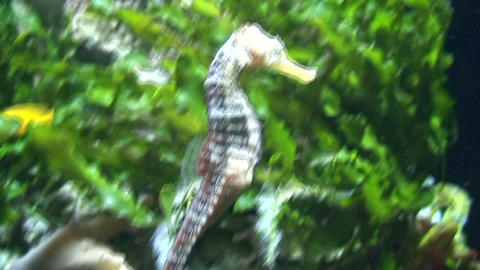 Hippocampus (Seahorse) gliding, close-up Stock Video Footage