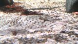 Rajidae (Skate) Fish On Seabed, Breathing stock footage