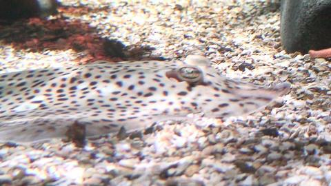Rajidae (Skate) fish on seabed, breathing Stock Video Footage