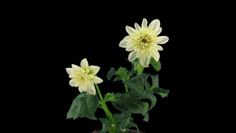 Stereoscopic 3D time-lapse of opening white dahlia 1b... Stock Video Footage