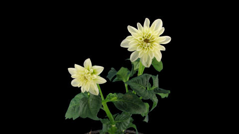 Stereoscopic 3D time-lapse of opening white dahlia 1b (right-eye) Footage