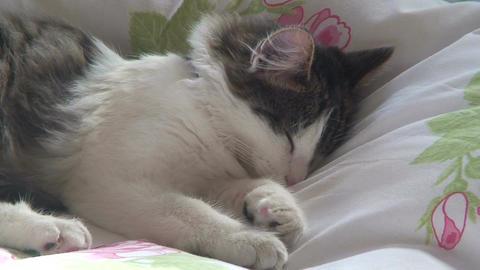 Sleeping Norwegian forest cat one Stock Video Footage
