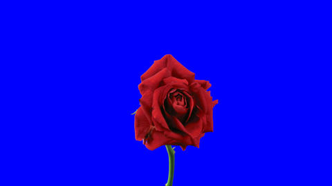 """Time-lapse of dying """"El Toro"""" rose 11 blue chroma key Stock Video Footage"""