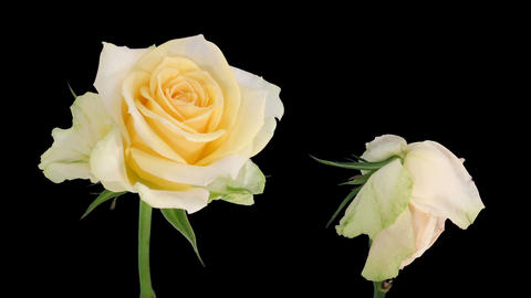 "Time-lapse of opening and dying ""Renate"" rose 3d Stock Video Footage"