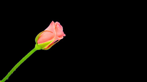 """Time-lapse of opening """"Saphir"""" rose with alpha matte 2a Stock Video Footage"""