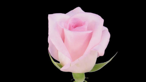 """Time-lapse of opening """"Sweet Akito"""" rose 1c Stock Video Footage"""