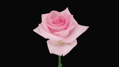 """Time-lapse of dying """"Sweet Akito"""" rose with alpha matte 4 Stock Video Footage"""