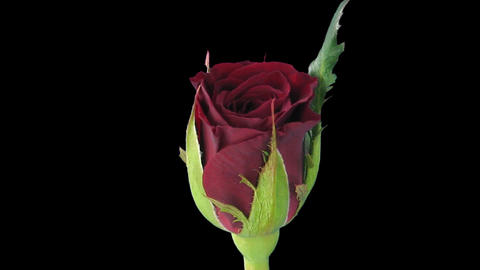"""Time-lapse of opening """"Valentino"""" rose 2c Stock Video Footage"""