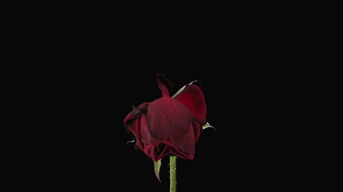 """Time-lapse of dying """"Valentino"""" rose with alpha matte 4 Stock Video Footage"""