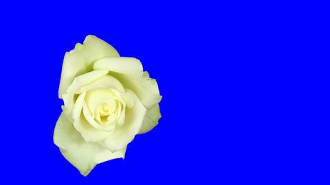 Time-lapse of white rose opening 1ck blue chroma key Footage