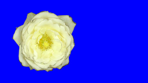 Time-lapse of white rose opening 1ck blue chroma key Stock Video Footage