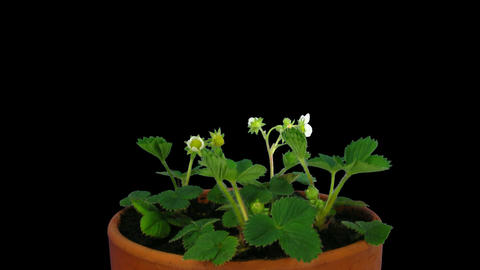 Time-lapse of blooming strawberry 2a with ALPHA matte Stock Video Footage