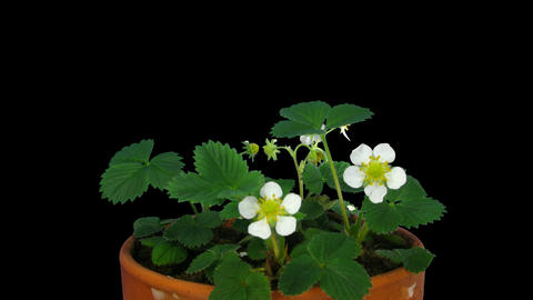 Time-lapse of blooming strawberry 2a with ALPHA matte Footage