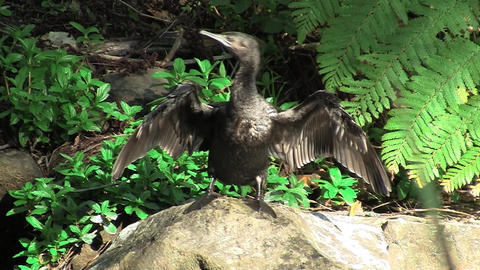 Black Cormorant Stock Video Footage