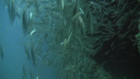 Russels Mackeral Scad Stock Video Footage