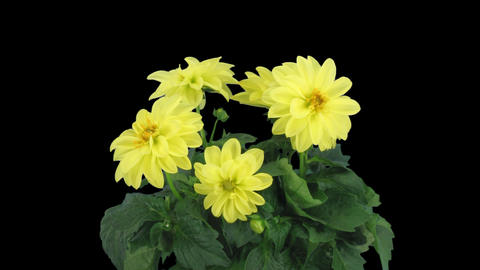 Stereoscopic 3D time-lapse of opening yellow dahlia 1a (left-eye) Footage