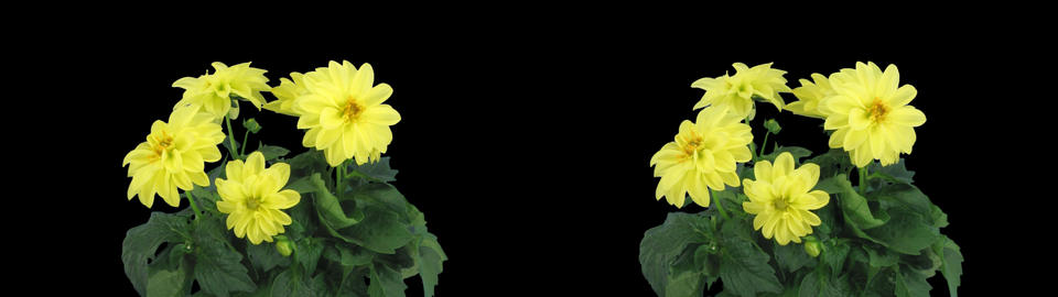 Stereoscopic 3D time-lapse of opening yellow dahlia 1a (cross-eye) Footage