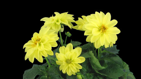 Stereoscopic 3D time-lapse of opening yellow dahlia 1c (right-eye) Footage