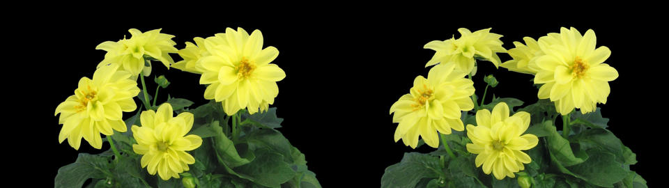 Stereoscopic 3D time-lapse of opening yellow dahlia 1c (cross-vision) Footage