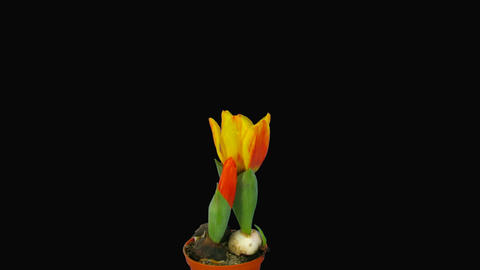 """Time-lapse of opening orange """"Flair"""" tulip with alpha... Stock Video Footage"""