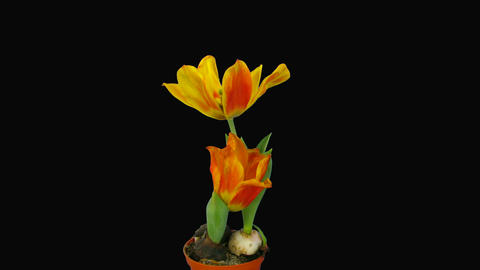 "Time-lapse of opening orange ""Flair"" tulip with alpha... Stock Video Footage"