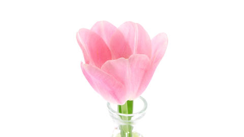 Time-lapse of opening pink tulip isolated on white 6 Footage