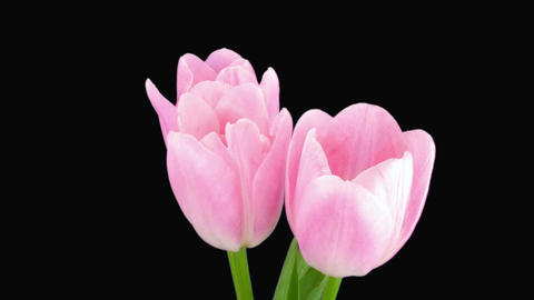 Time-lapse of opening pink tulips bouquet alpha matte 2a Stock Video Footage