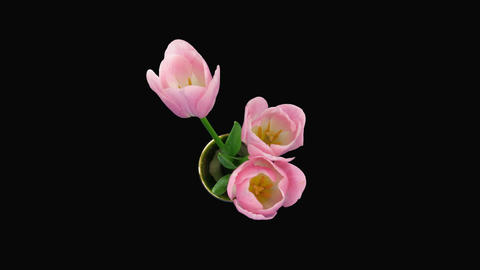 Time-lapse of opening pink tulips bouquet alpha matte top 4 Stock Video Footage