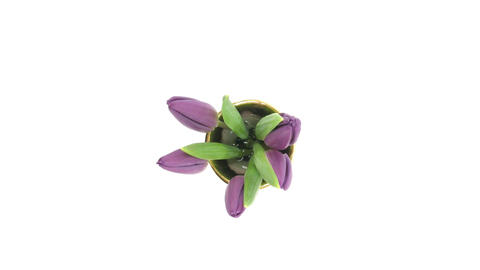 Time-lapse of opening purple tulips vase isolated white 3... Stock Video Footage