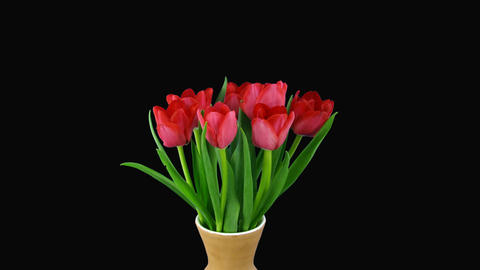 Time-lapse of opening red tulips bouquet with alpha matte 7 Stock Video Footage