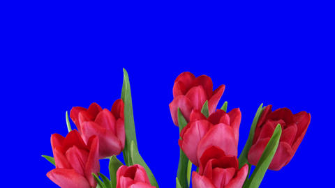 Time-lapse of opening red tulips bouquet with alpha matte 9 Footage