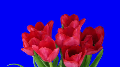 Time-lapse of opening red tulips bouquet with alpha matte 9 Stock Video Footage