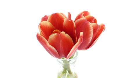 Time-lapse of opening red tulips in vase isolated white 11a Footage