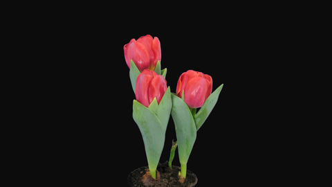 Time-lapse of opening red tulips in pot 8 Stock Video Footage