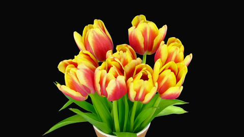 Time-lapse of opening red-yellow tulips vase alpha matte 2 Stock Video Footage