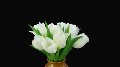 Time-lapse of opening white tulips vase alpha matte 1 Stock Video Footage