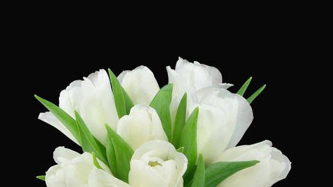 Time-lapse of opening white tulips vase alpha matte 3 Stock Video Footage