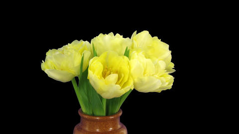 Time-lapse opening yellow tulip bouquet with ALPHA matte 10 Stock Video Footage