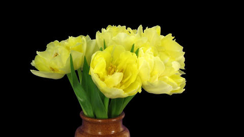 Time-lapse opening yellow tulip bouquet with ALPHA matte 10 Footage