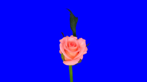 Rotating pink 'Ballet' rose isolated endless loop 1a Stock Video Footage