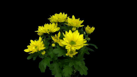 Rotating chrysanthemum flower with alpha matte endless loop 4 Footage