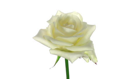 """Rotating """"Bianca"""" rose isolated on white endless loop 3 Stock Video Footage"""