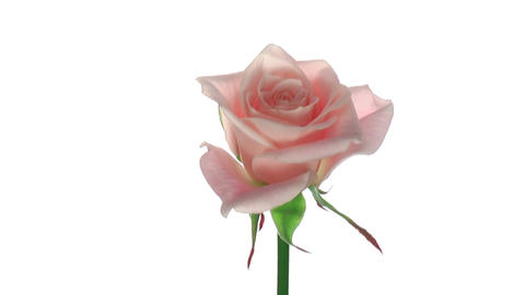 "Rotating ""Medeo"" rose isolated on white endless loop 2 Stock Video Footage"