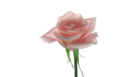 "Rotating ""Medeo"" rose isolated on white endless loop 2 Footage"