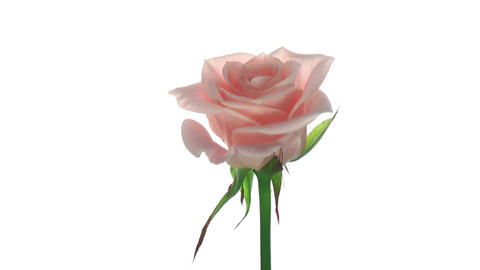 """Rotating """"Medeo"""" rose isolated on white endless loop 2 Stock Video Footage"""