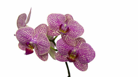 Rotating purple mottled orchid, endless loop 1 Footage